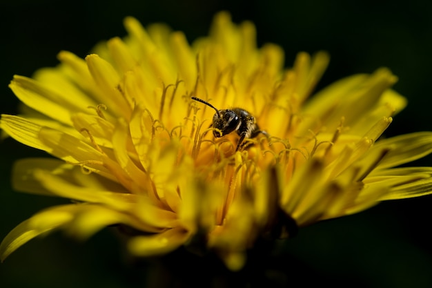 Closeup of a bee pollinating on the blossomed yellow flower in the wild