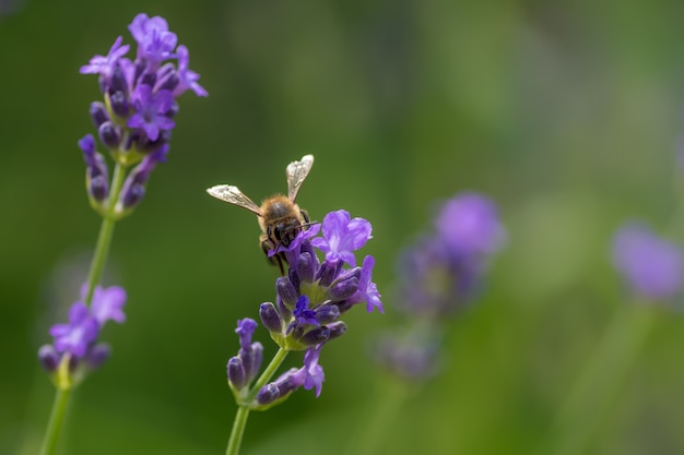 Closeup of a bee sitting on a purple english lavender