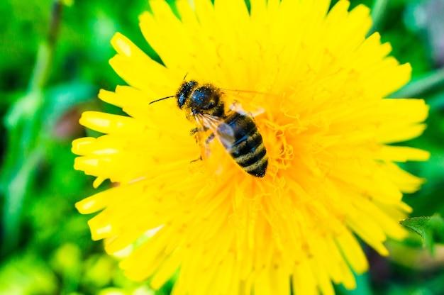 Primo piano di un'ape su un dente di leone giallo in giardino
