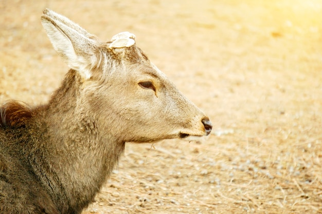 Closeup and beside of face hart young deer without antler in nara park area.