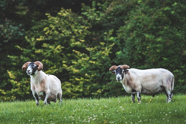 Closeup bighorn sheep on the grass northern ireland sheep couple feeding on the green covered land