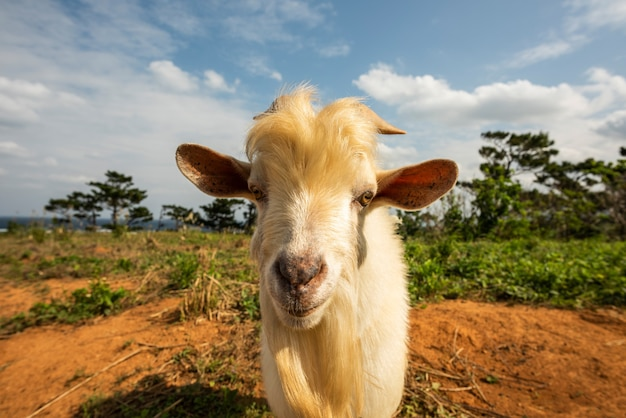 Closeup of a billy goat face with long blond beard on red land looking straight to camera