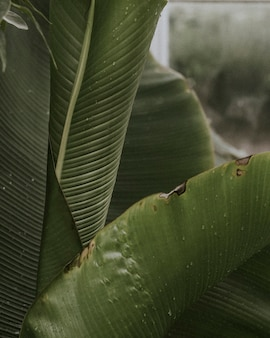 Closeup of bird of paradise leaves