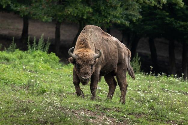 Primo piano di un bisonte nella riserva del bisonte a hunedoara, romania