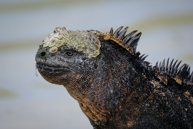 Closeup of a black iguana with spikes