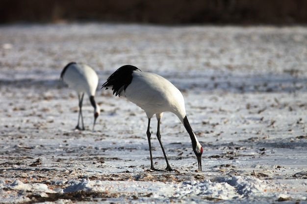 Closeup of black-necked cranes eating dead fish on the ground covered in the snow in hokkaido, japan