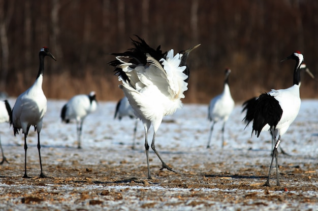 Closeup of black-necked cranes on the ground covered in the snow in hokkaido in japan