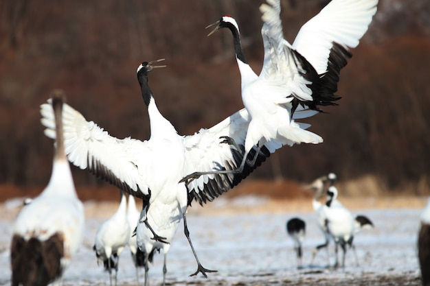 Closeup of black-necked cranes landing on the ground covered in the snow in hokkaido in japan