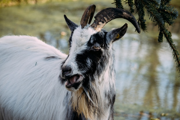 Closeup of a black and white goat chewing on spruce leaves beside a pond