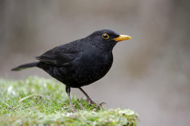 Closeup of a blackbird with a yellow beak on a fresh grass