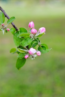 Closeup of blooming apple tree branch