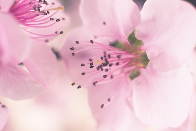 Closeup  of blooming pink cherry blossom flowers