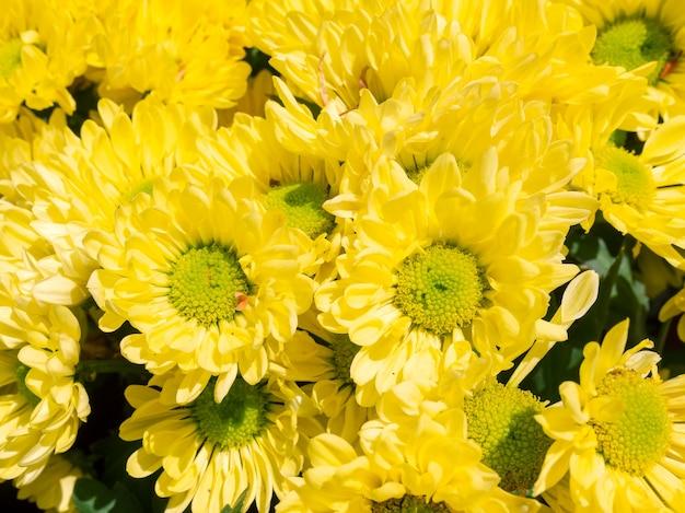 근접 촬영 개화 노란 국화 꽃 배경