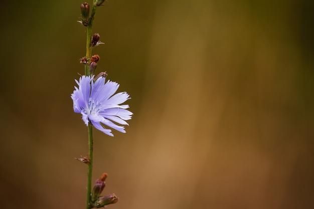 Closeup of blue chicory wild flowers