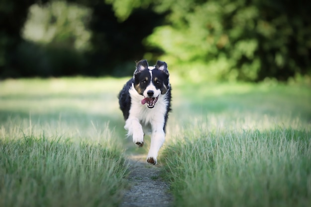 Closeup of a border collie dog running in the field
