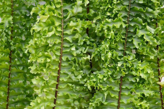 Closeup of boston fern leaves