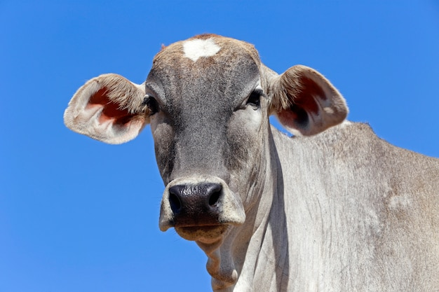 Closeup of bovine head under blue sky