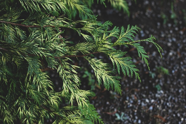Closeup of bright green thuja branches with focused and blurred parts on dark ground background.