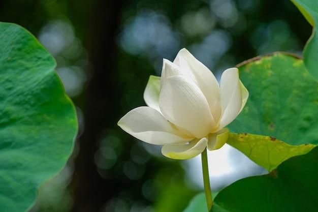 Closeup of bright white lotus petals