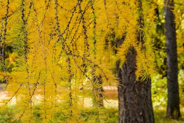 公園のカラマツの木の枝に明るい黄色の針をクローズアップ