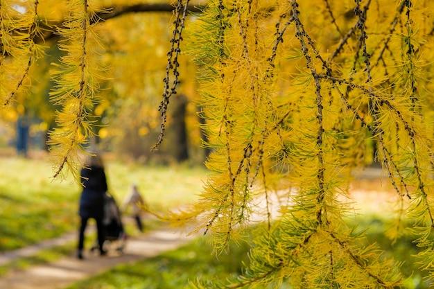 공원에 있는 낙엽송 나뭇가지에 밝은 노란색 바늘을 닫아라