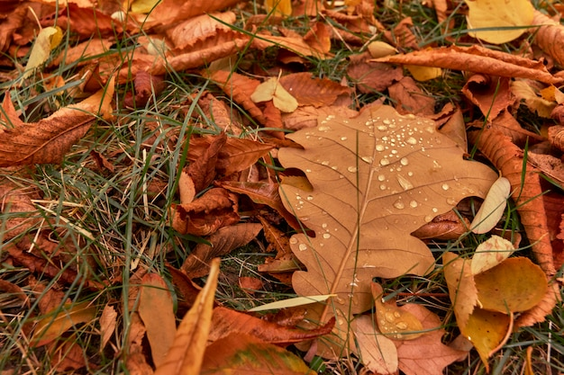 Closeup of brown dry leaves on the ground fallen in autumn with drops of water and green