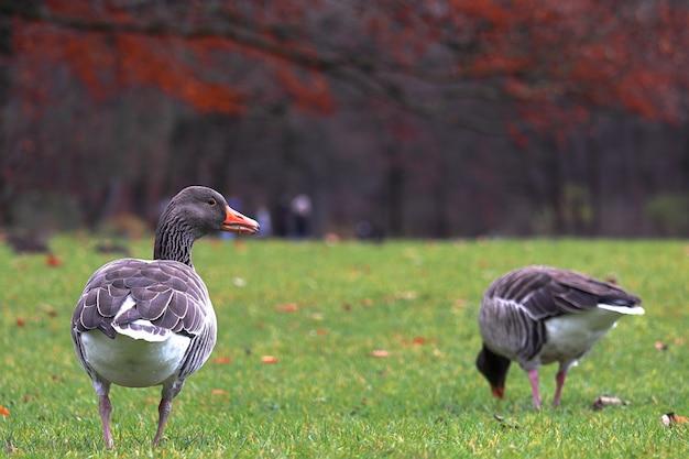 Primo piano delle anatre marroni che camminano in un parco con gli alberi su un confuso durante l'autunno