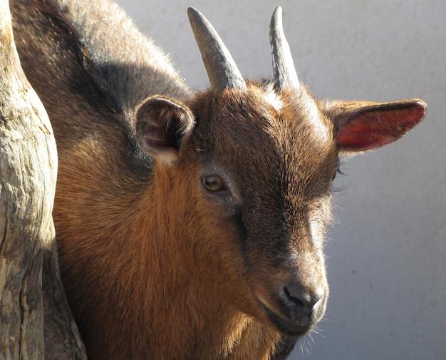 Primo piano di una capra marrone sotto la luce solare