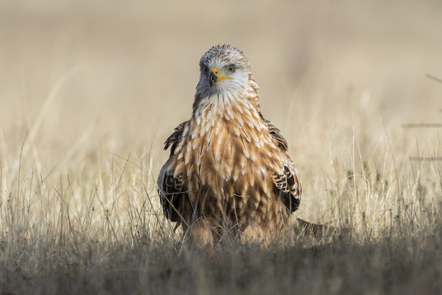Closeup of a brown hawk on a dry grass