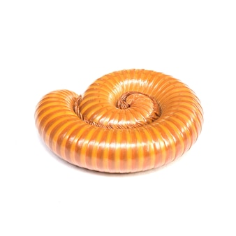 Closeup brown millipede rolling at the floor isolated on white background with clipping path without shadow