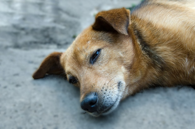 A closeup of a brown sleepy mongrel street dog looking relaxed into the distance on the street dog head close up