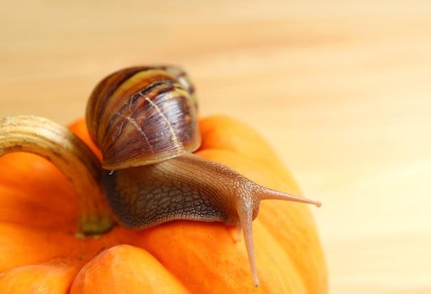 Closeup of a brown stripe shell snail crawling on a vivid orange mini pumpkin