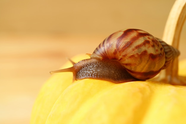 Closeup of brown stripe shell snail resting on a vivid yellow mini pumpkin