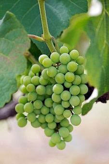 Closeup of bunch of grapes in the vine