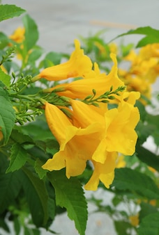 Closeup bunch of vibrant yellow trumpetbush flowers blooming on the tree