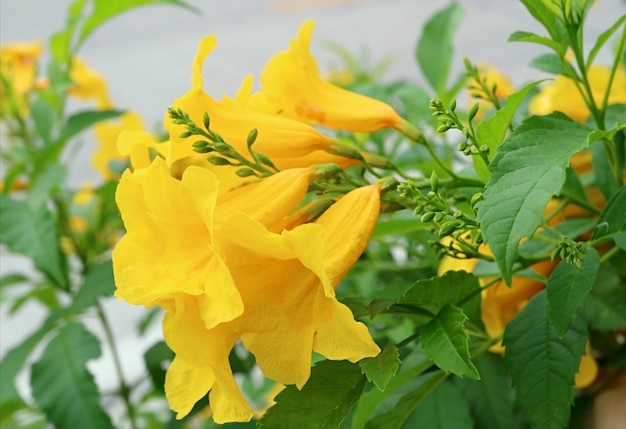 Closeup bunch of vivid yellow trumpetbush flowers blooming on the tree