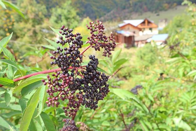 Closeup bunch of wild berry plants on the mountainside of mestia, svaneti region, georgia
