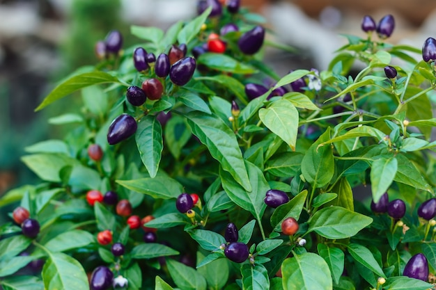 Closeup of a bush with green leaves and mini peppers of different colors purple and red
