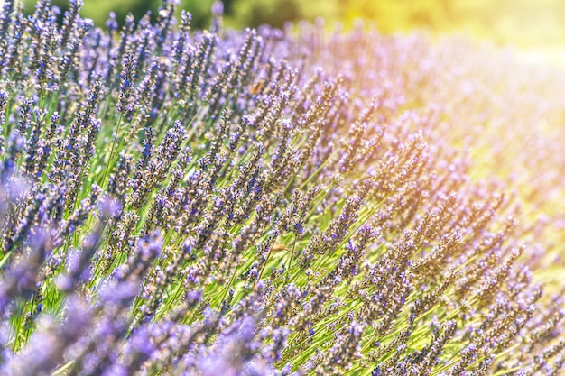 Closeup bushes of lavender flowers in summer near valensole, provence, france
