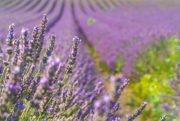 Closeup bushes of purple lavender flowers in summer near valensole, provence in france