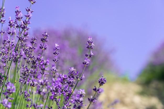 Closeup bushes of purple lavender flowers.