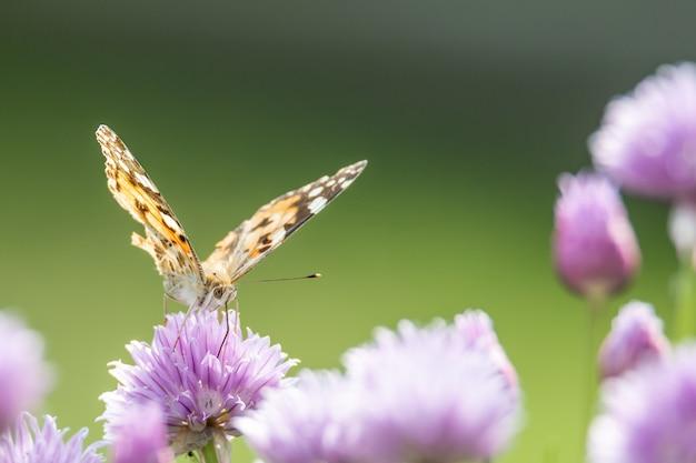 Primo piano di una farfalla seduta su un fiore viola con uno sfondo sfocato