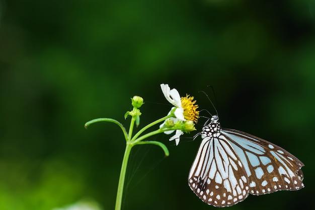 Бабочка крупным планом сосет нектар из цветов пуговиц или цветов мексиканской ромашки