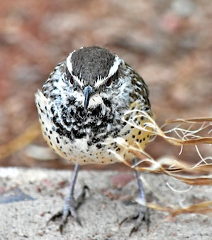 A closeup of a cactus wren perched on the stone surface