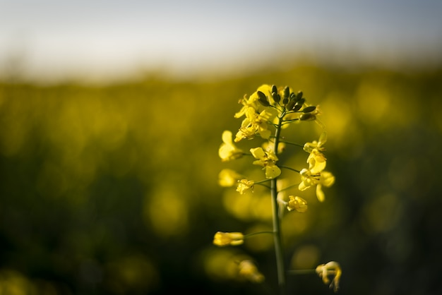 Closeup of a canola surrounded by greenery in a field under sunlight with a blurry