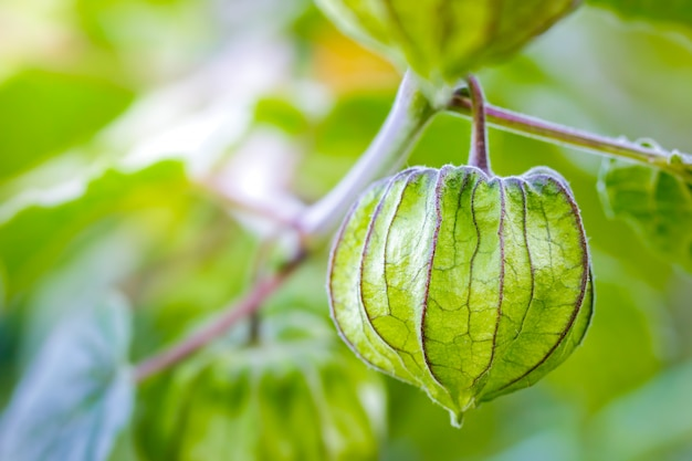 Closeup cape gooseberry on the tree in organic farms and morning sunlight.