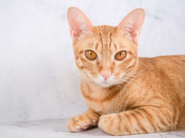 Крупным планом кошка оранжевого цвета лежала расслабиться и глядя в пространство камеры, дружелюбный человек-кошка