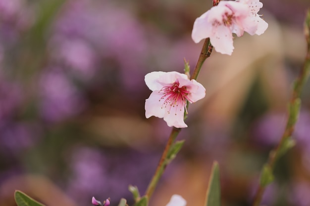 Primo piano della fioritura dei ciliegi sotto la luce del sole in un giardino con uno sfondo sfocato