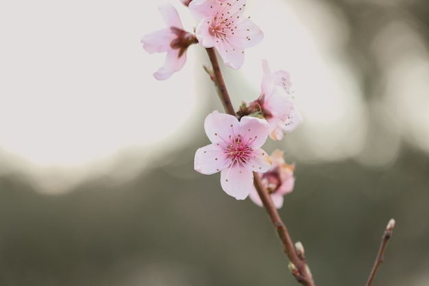 Closeup of cherry blossom under sunlight in a garden with a blurry