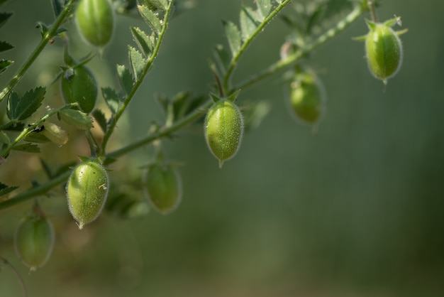 Closeup of chickpeas pod with green young plants in the farm field,